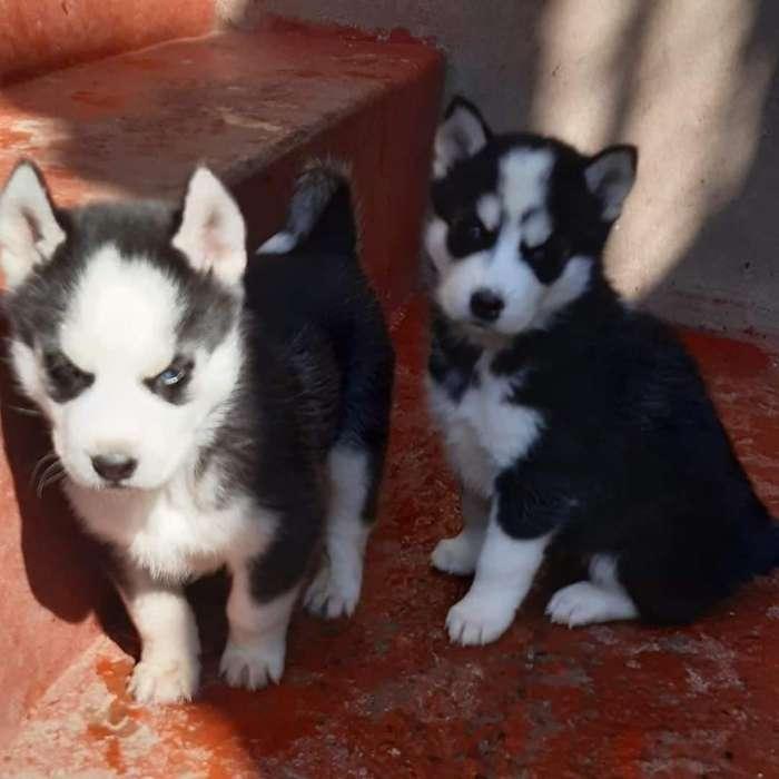 Cachorros husky siberiano disponibles y listos para un nuevo hogar