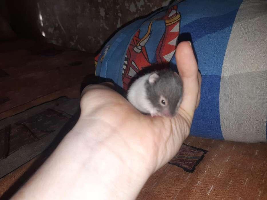 Vendo Hamster Sirio
