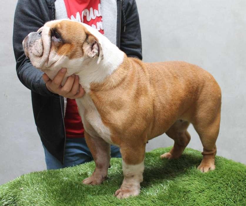 Bulldog Ingles Hembra Fertil Rembombory Nieta De Campeon Mundial