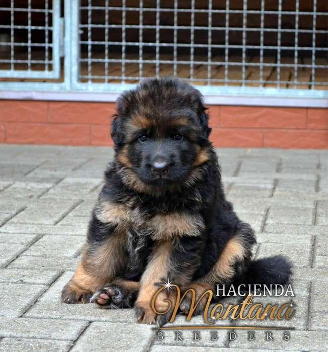 VENTA DE <strong>cachorro</strong>S PASTOR ALEMÁN PELO LARGO EN ARMENIA