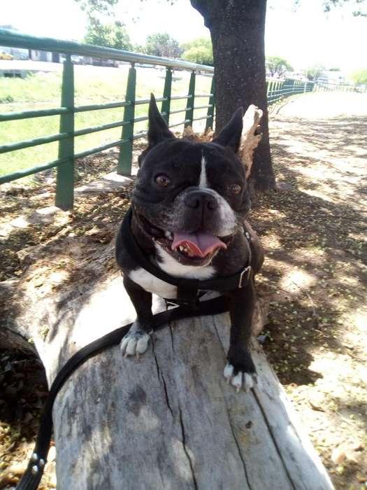 Bull Dog Frances para Servicio