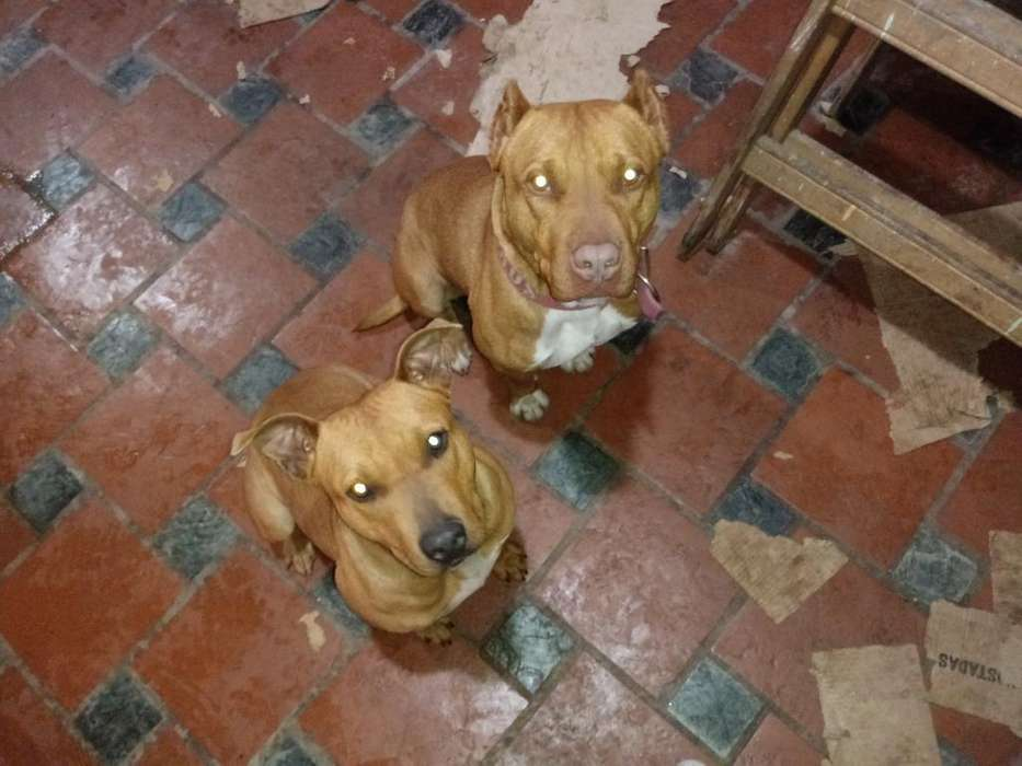 Cachorros Pitbull con Papeles Color Blue