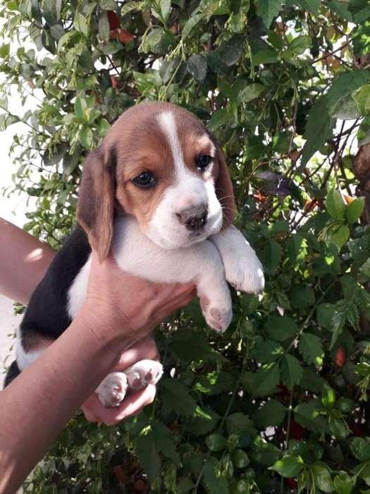 Beagle Tricolor Cachorros
