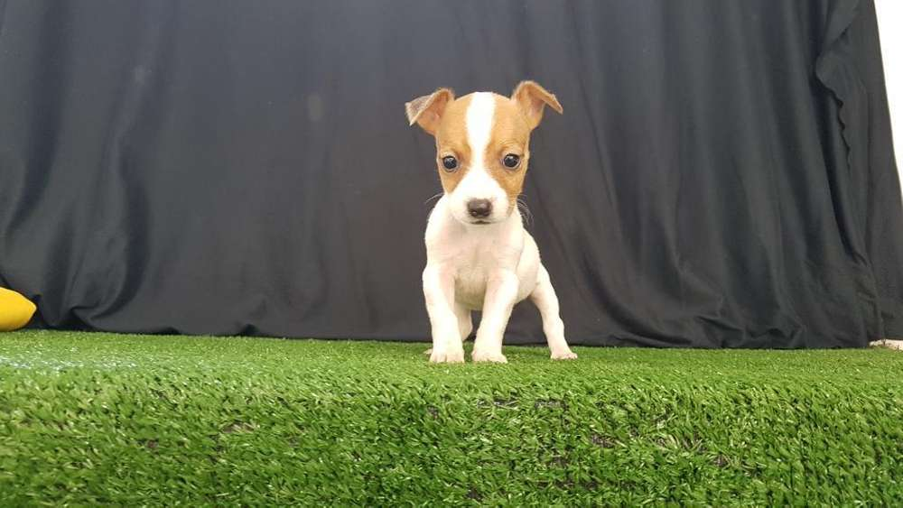 Incomparables Jack Rusell Terrier Jugeto