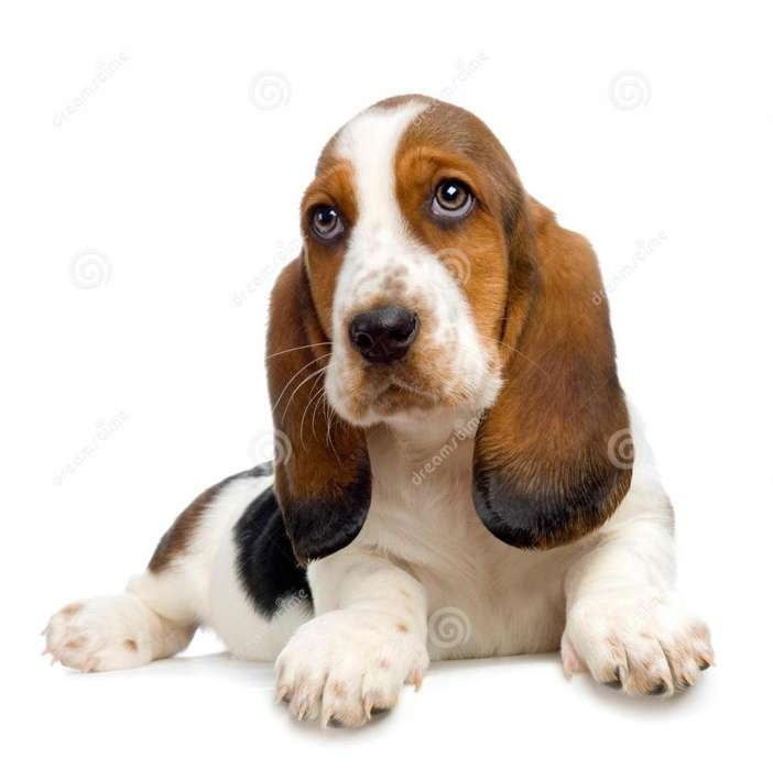 *PET SHOP VENDE BASSET HOUND*