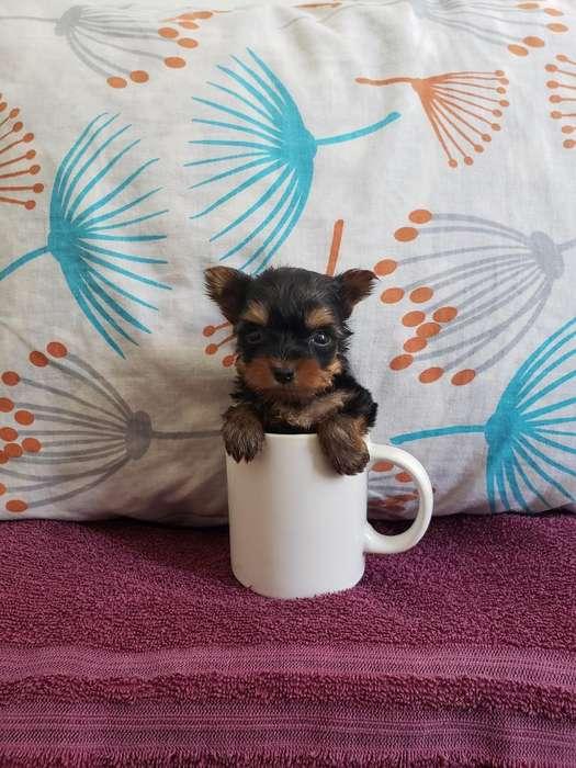 Yorkshire <strong>terrier</strong> Hembra Mini E
