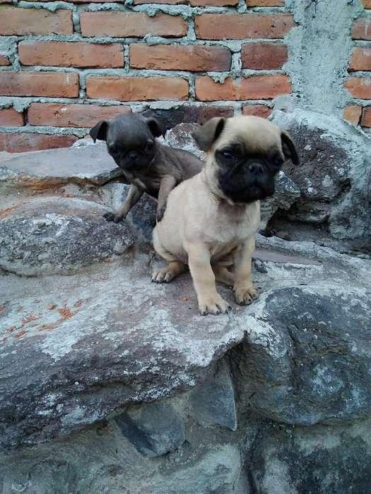 <strong>cachorro</strong>s Pug Carlino Puros