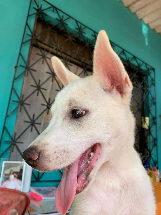 Oportuniad Cachorro Lobo