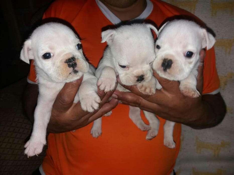 Cachorros Bull Dog Inglés