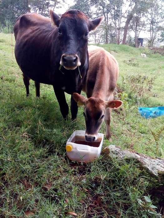 Venta de <strong>vacas</strong> Jersey