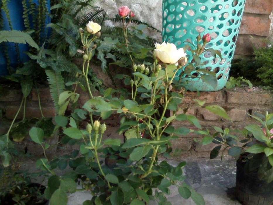 Rosal de pie bajo