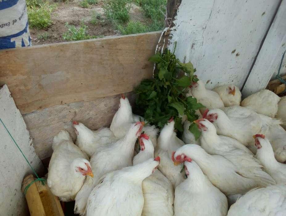 <strong>pollos</strong> Semicriollos