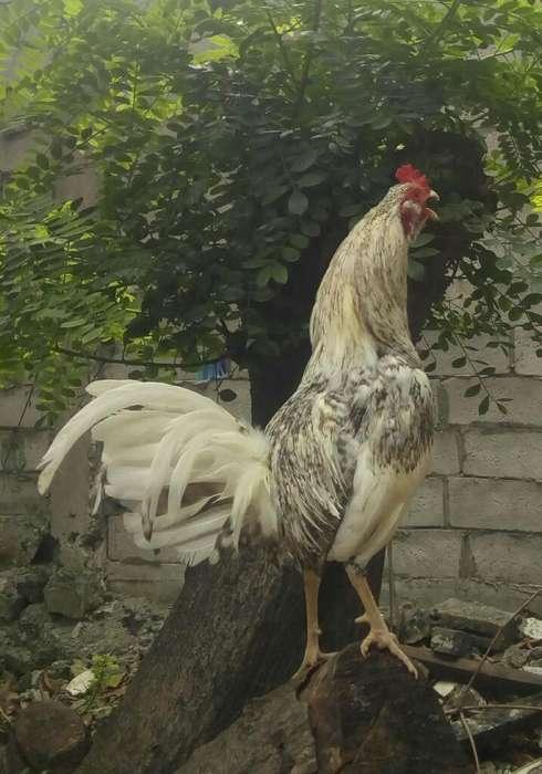 <strong>gallo</strong> Papujo Fino 7 Meses