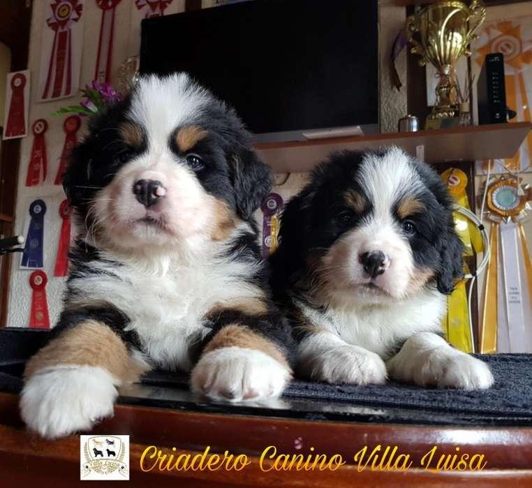 <strong>cachorro</strong>s Bernes de La Montaña.