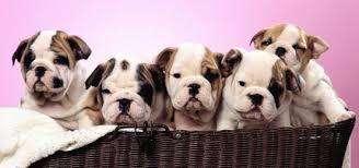 <strong>cachorro</strong>s bulldog ingles hermosos envios disponibles