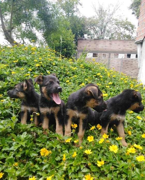 Cachorros de Pastor Alemán Disponibles