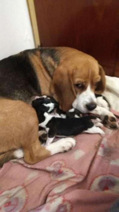 <strong>beagle</strong>s Reserva El Tuyo Leer Publi