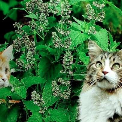 NEPETA CATARIA menta de <strong>gato</strong>s