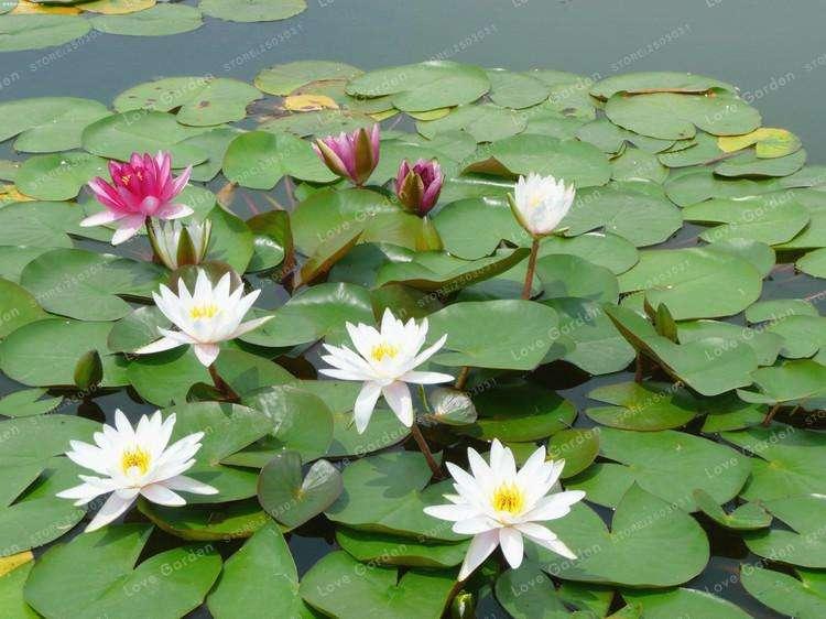 vendo semillas y plantas para estanques jardín acuático