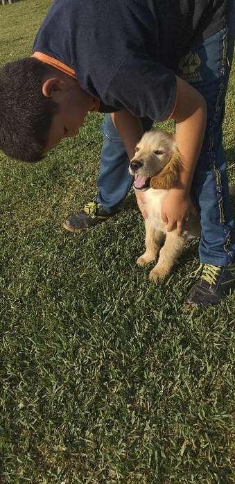 Se Vende <strong>cachorro</strong> Golden Retriver