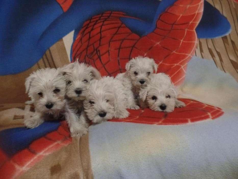 Cachorritos Schnauzer Blancos