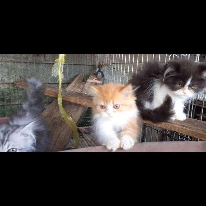 Vendo Hermosos Gatos Persa Clasicos