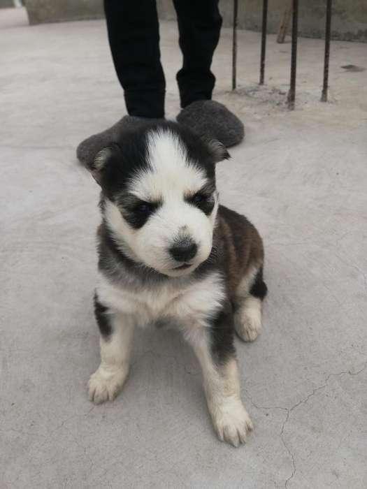 Vendo Cachorra Husky Malamute