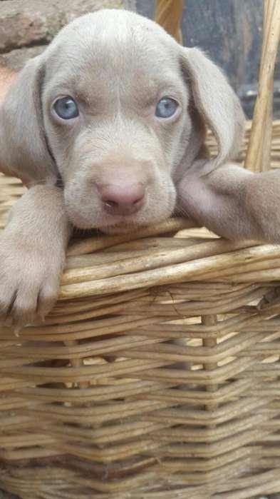 venta de perros cachorros Waimaraner camada nueva