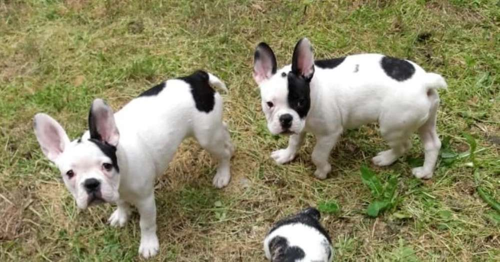 Bulldog Frances Hermosos <strong>cachorro</strong>s!!