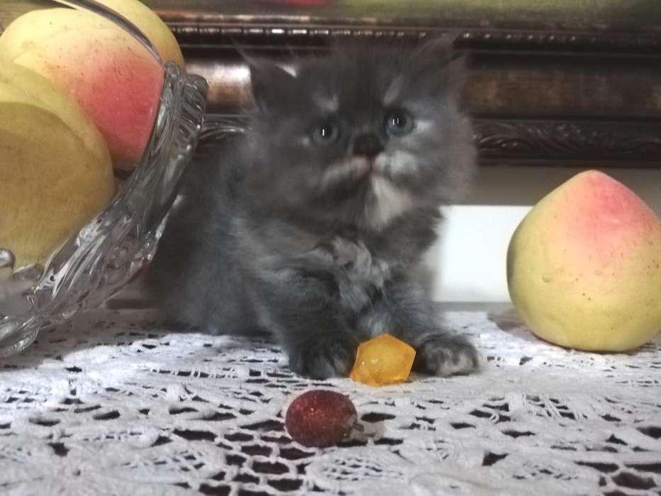 <strong>gatitos</strong> Persa