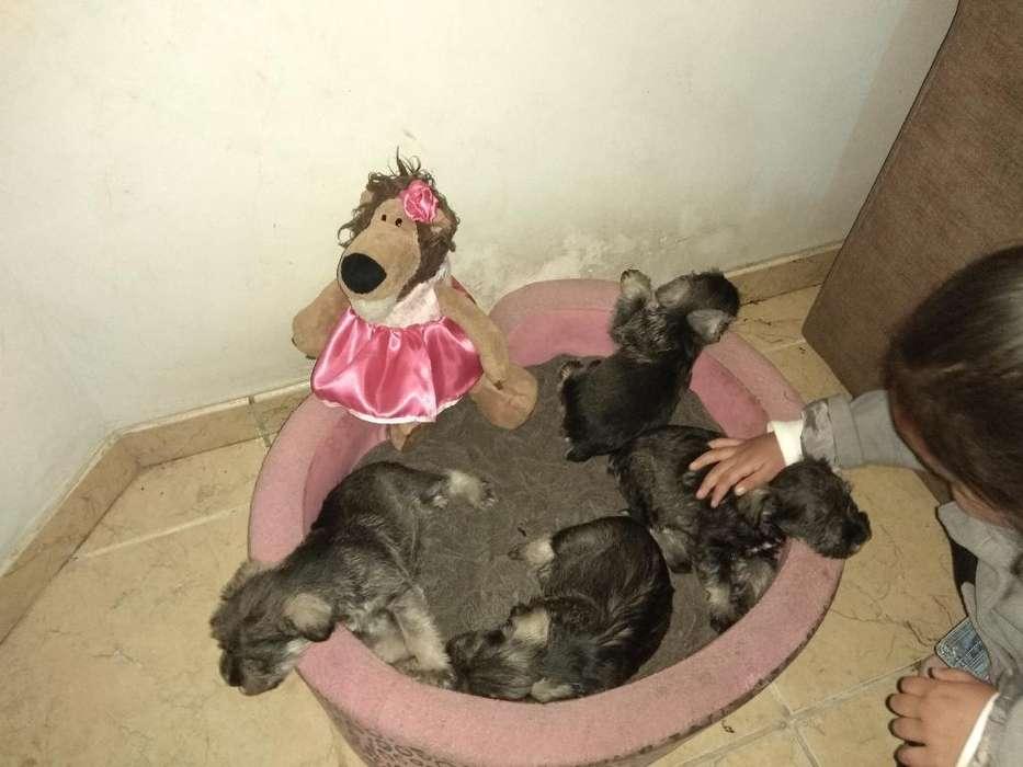Cachorros Shnauzer
