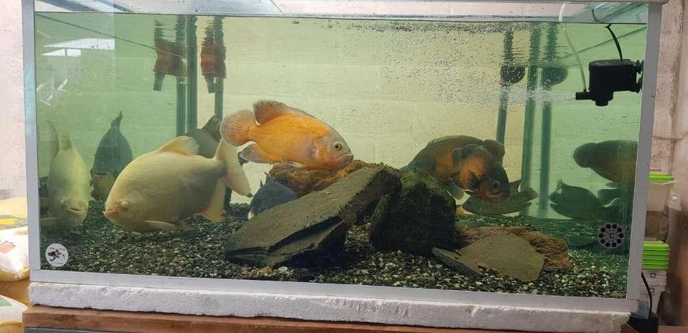 Pecera Monster Fish