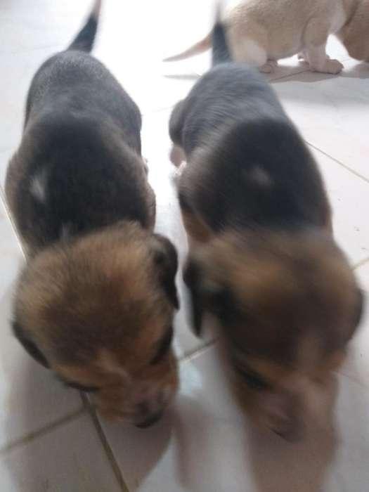 Hermosos Cachorros <strong>beagle</strong>