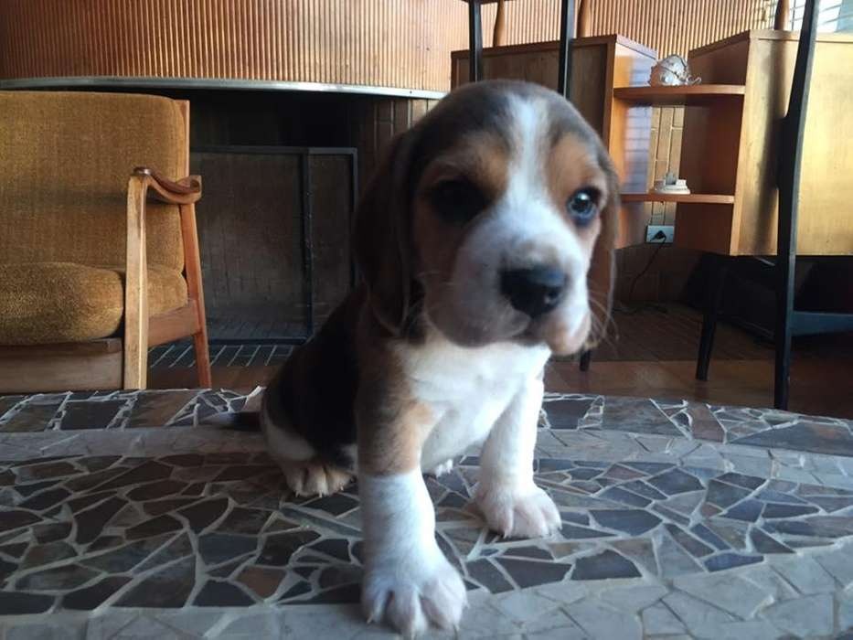 alquiere tu <strong>beagle</strong> tricolor