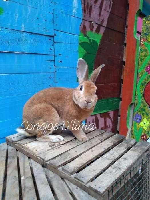 Conejos Rex de Calidad