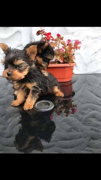 Venta de Cachorritos Yorkshire Terriers