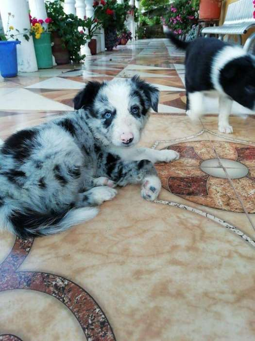 Cachorros Border <strong>collie</strong> Blue Merle