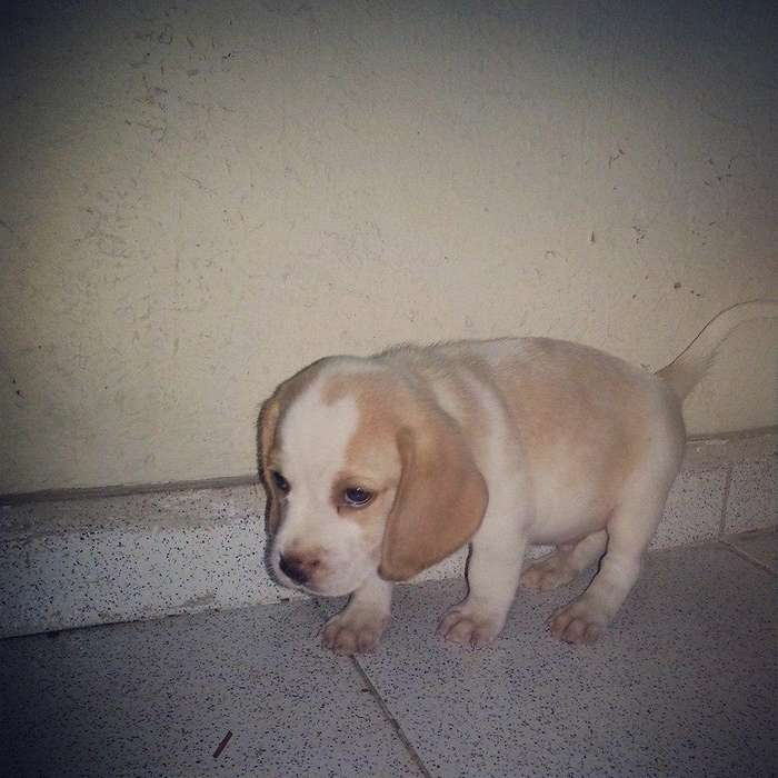 alquiere tu <strong>beagle</strong> limon