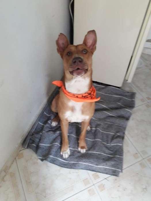 Hermoso Perro Griego en <strong>adopcion</strong>