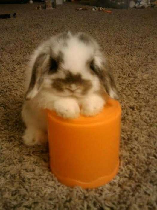 Conejo Minilop Belier