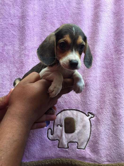 lindos beagle tricolor