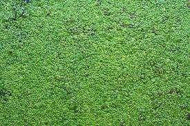 plantas de lemmna minor, lenteja de agua