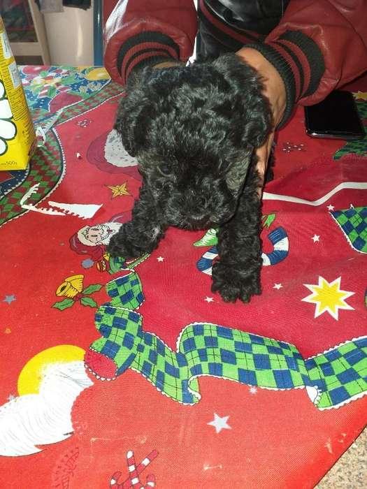 Vendo Perrito Caniche Micro Toy