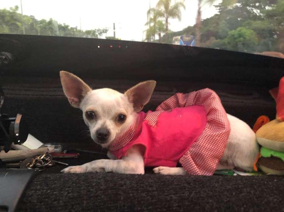 Hermosa Chihuahua Busca Novio