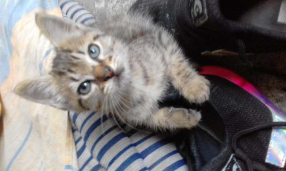 Negociable Se vende hermoso gato enrazado ojos azules