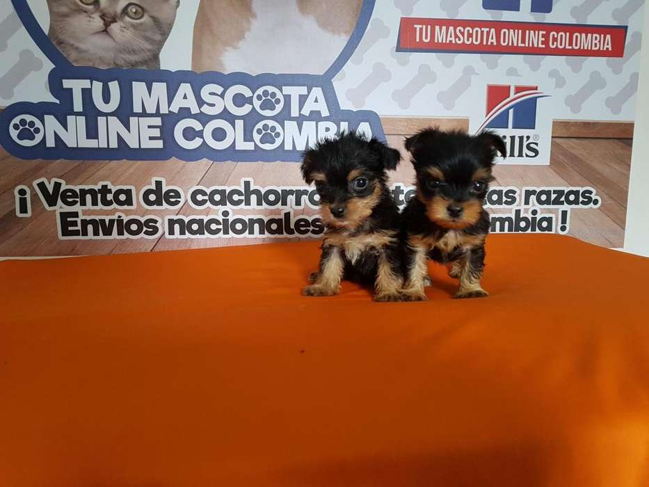 Ejemplares Yorkshire Mini terrier