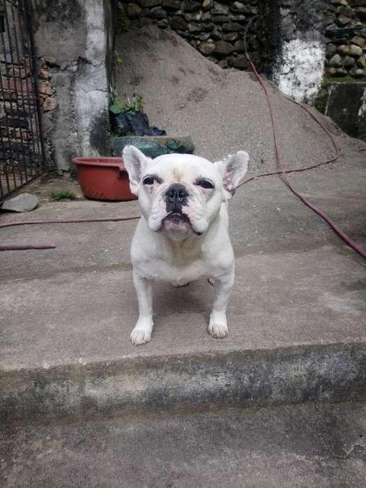 Perra Bulldog Frances