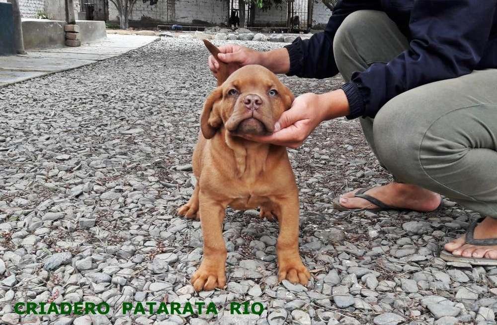 VENTA <strong>cachorro</strong>S DOGO DE BURDEOS - AMERICAN BULLY - BULLDOG FRANCES