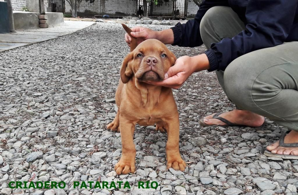 VENTA CACHORROS DOGO DE BURDEOS - AMERICAN BULLY - BULLDOG FRANCES