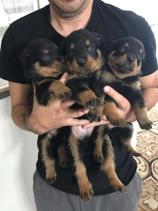 Cachorros <strong>rottweiler</strong>s